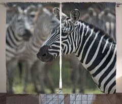 Zebra Portresi Desenli Fon Perde Siyah Beyaz